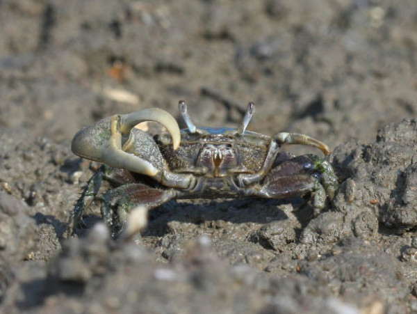 Male mud fiddler crab (Uca pugnax) in saltmarsh. Fiddler crabs are the primary prey of yellow-crowned night herons during the breeding season. Photo by Bart Paxton.