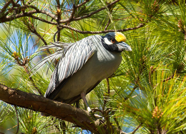 Yellow-crowned night heron just after arriving in Norfolk, Virginia, for the breeding season. Photo by Bryan Watts.