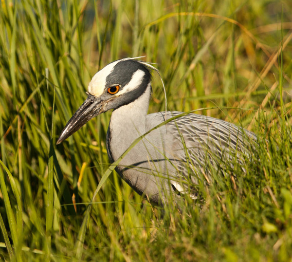 Yellow-crowned night heron stalking through the saltmarsh in search of fiddler crabs. Exhibiting the slowest stalking technique of all North American herons, yellow-crowned foraging is specifically designed for hunting crabs. Photo by Bryan Watts.
