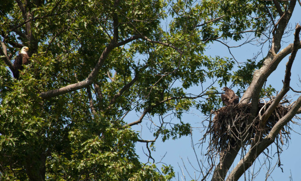 Dolly (lft) watching over young near fledging age in nest along Hatcher Island on 15 June 2015. Photo by Bryan Watts.