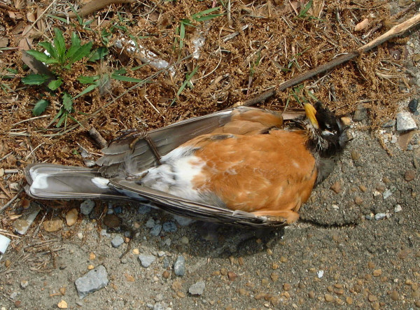 American robin hit by a car along a major interstate. Vehicle strikes are estimated to kill 60 million birds, including mostly passerines, annually in the United States alone. Photo by Bart Paxton.