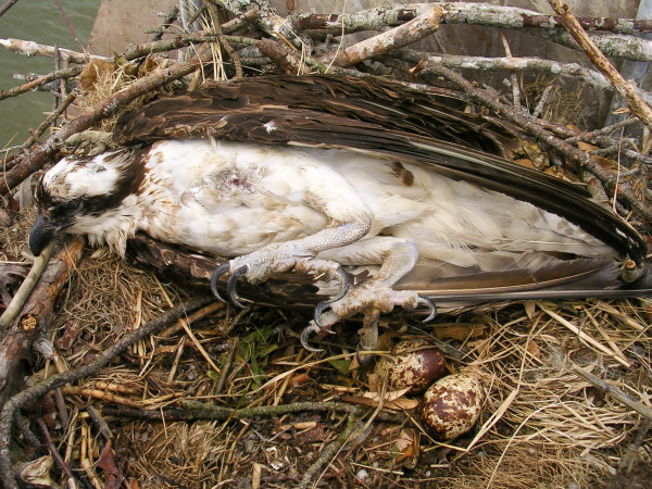 """Female osprey shot on nest along the York River in Virginia while incubating two eggs. This type of indiscriminant """"sport"""" shooting is illegal and has no place in modern society. Photo by Andy Glass."""
