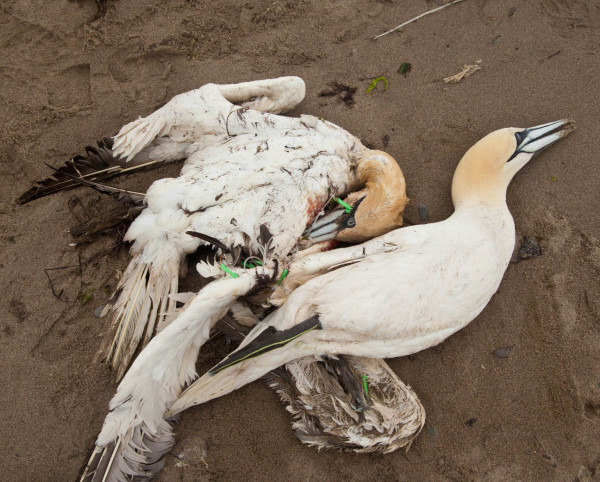 Two northern gannets tangled in a long-line fishing rig. Fishing bycatch is a major source of mortality for seabirds throughout the world. Photo by Bryan Watts.