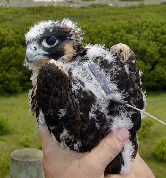 A young peregrine falcon with solar-powered, satellite transmitter used to track movements during dispersal and beyond. Photo by Bryan Watts.