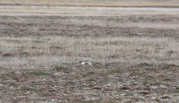 Black-bellied Plover with satellite transmitter in her territory. Photo by Fletcher Smith.