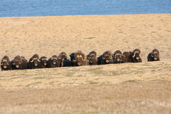 Herd of Musk Oxen gather on an esker just above Polar Bear Pass National Wildlife Area. Photo by Fletcher Smith.