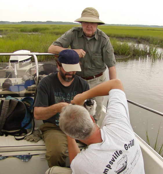 Mitchell Byrd (standing), Bryan Watts (middle) and Shawn Padgett (right) attach a satellite transmitter to a peregrine falcon on the Eastern Shore of Virginia. Photo by Bart Paxton.