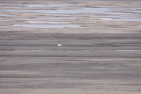 Polar Bear lumbering through Polar Bear Pass National Wildlife Area. These bears typically reside near the coast in summer waiting for ice to form to resume hunting. This bear was an exception and was spotted about 15km inland. Photo by Fletcher Smith.