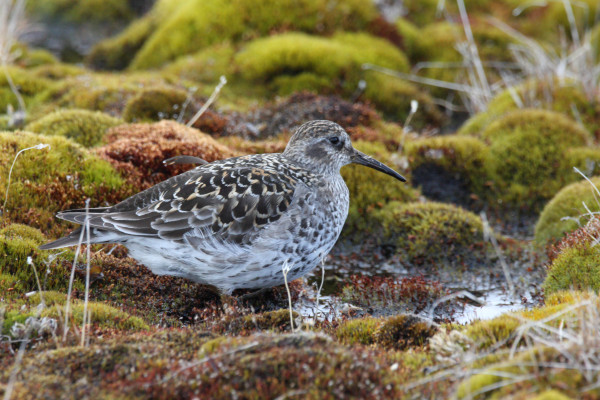 Purple Sandpiper in breeding plumage, image taken near Resolute, Nunavut. Purple Sandpipers have the northern most range limit of any of the high Arctic breeding shorebirds. Photo by Fletcher Smith.
