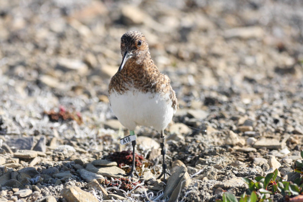 """Sanderling with alpha-numeric leg flag """"A18."""" This bird was resighted in Delaware Bay during the fall migration. This bird was also tagged with a VHF radio transmitter and was likely detected migrating through the array of receivers in Eastern Canada and the U.S. Photo by Fletcher Smith."""