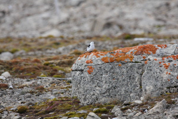 Snow Bunting. These passerines were a common breeder on the limestone and shale cliffs of Bathurst Island. Photo by Fletcher Smith.