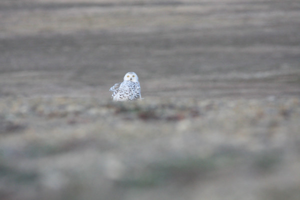 Snowy Owl hunting on the ridge of an esker near camp. Many Snowy Owls were observed during the 2015 field season, suggesting a high number of their lemming prey in the area as well. Photo by Fletcher Smith.
