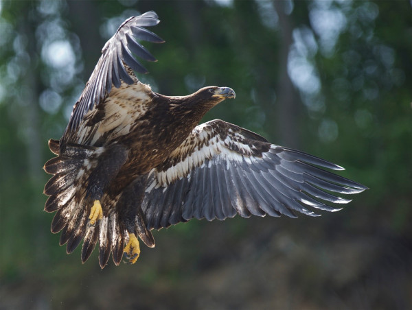 A local, young-of-the-year eagle taking off from the shoreline around Fones Cliffs. In addition to being an important breeding area and migration destination, the cliffs serve as a nursery area where young birds from throughout the lower Chesapeake congregate in late summer. Photo by Bill Portlock.