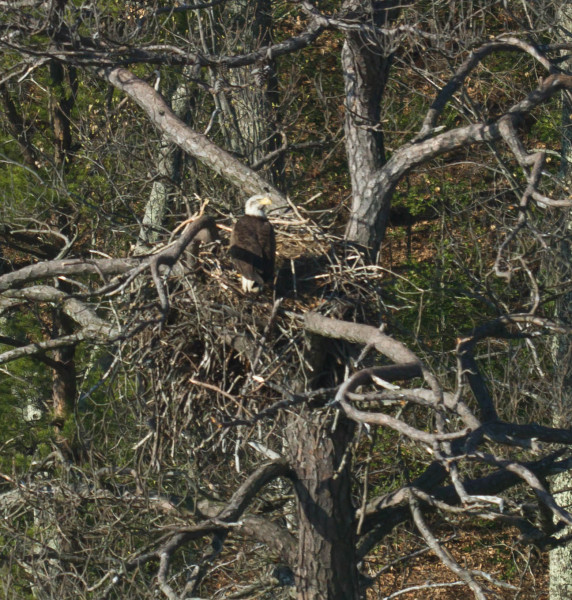 A wishful fourth-year eagle stands on a nest within a dead pine that had been abandoned by the territorial pair the previous year. Photo by Bryan Watts.