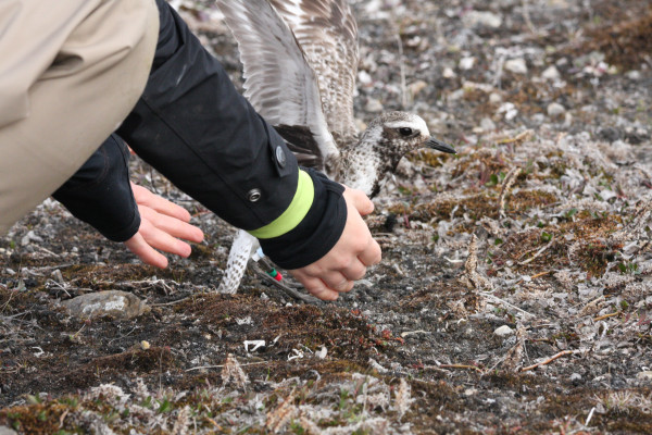 Black-bellied plover released with satellite transmitter attached. Photo by Fletcher Smith.