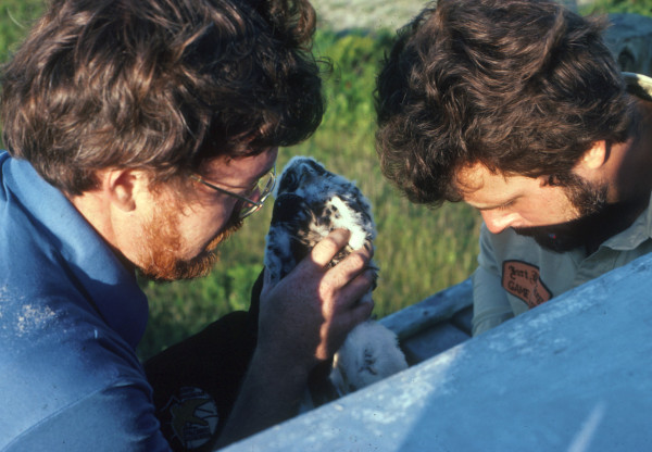 Doug Davis (left) and Hans Gabler (right) place the first captive-reared peregrines in the hack box on Cobb Island in 1978. The Cobb Island tower continues to support a breeding pair today. Photo by CCB.