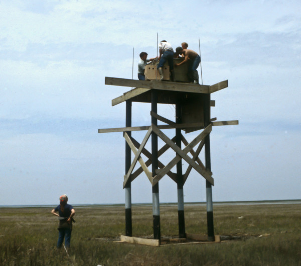 Everyone pitches in to place the peregrine hack box on the tower constructed within the Chincoteague National Wildlife Refuge in Virginia in 1979. This tower would later be the site of first breeding in the state in 1982. Photo by CCB.