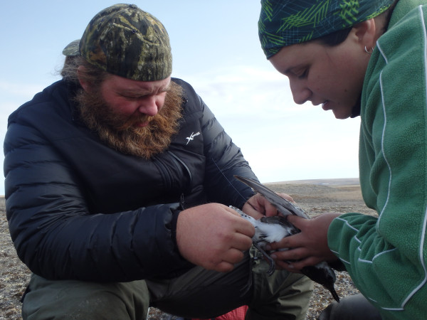 Fletcher Smith (CCB) and Julie Belliveau (CWS) deploy a satellite unit on a black-bellied plover. Photo by Beth MacDonald.
