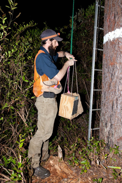 Matt King attaches a woodpecker box to a drop line so that it may be raised into the tree and placed in artificial cavity. Photo by Bryan Watts.