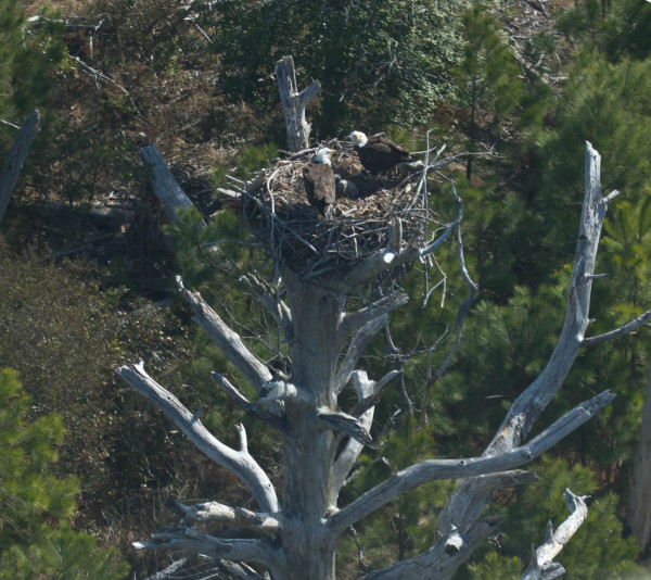 Sometimes size does matter. A pair of eagles feeding a young brood in a nest built in the crotch of a massive dead pine tree on the Eastern Shore of Virginia. The tree had been dead for eight years but continued to support the nest. Photo by Bryan Watts.