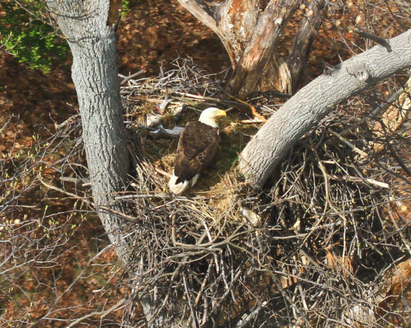 An adult eagle broods two small eaglets in a nest on Fort Belvoir along the upper Potomac River. On the menu this day was American shad and gray squirrel. Photo by Bryan Watts.