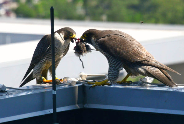 A male peregrine hands off a shorebird to the female on top of a skyscraper in Virginia Beach, Virginia. Males do most of the hunting during the brood rearing period and small shorebirds fit perfectly into their prey size range. Photo by Reese Lukei, Jr.