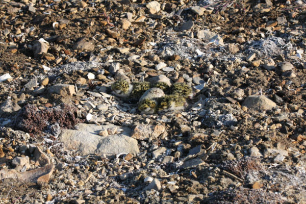 A nest cup of recently hatched black-bellied plover chicks. Successful nesting is one of the main drivers of population stability in shorebirds, many of which are in steep declines. Photo by Fletcher Smith.
