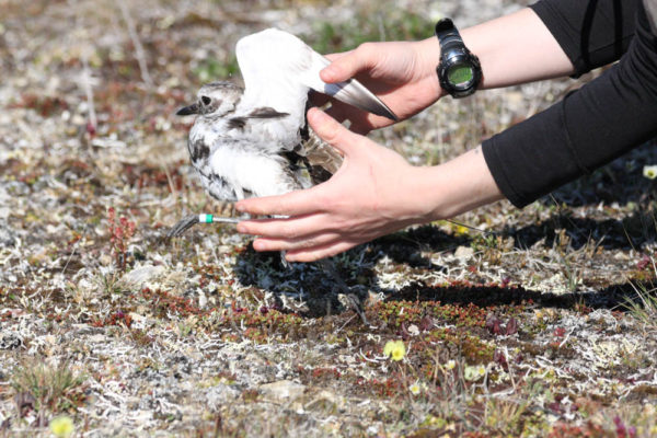 Beth MacDonald releases a transmittered black-bellied plover. Photo by Fletcher Smith.