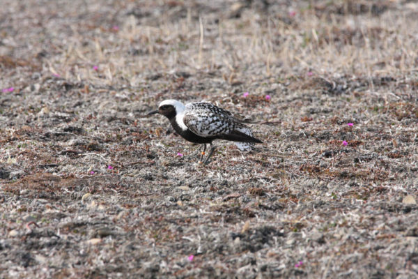 Black-bellied plover on Bathurst Island. Plover is using a distraction display to lead us away from the nest. Photo by Fletcher Smith.