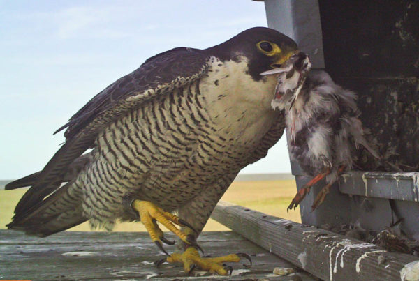 Female peregrine taking a ruddy turnstone into a nest box to feed young. Females typically take care of the nest site and feed the brood.