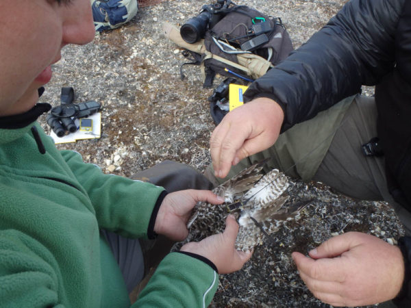 Julie Belliveau and Fletcher Smith attach a transmitter to a nesting black-bellied plover during the 2015 breeding season. Photo by Beth MacDonald (CWS).
