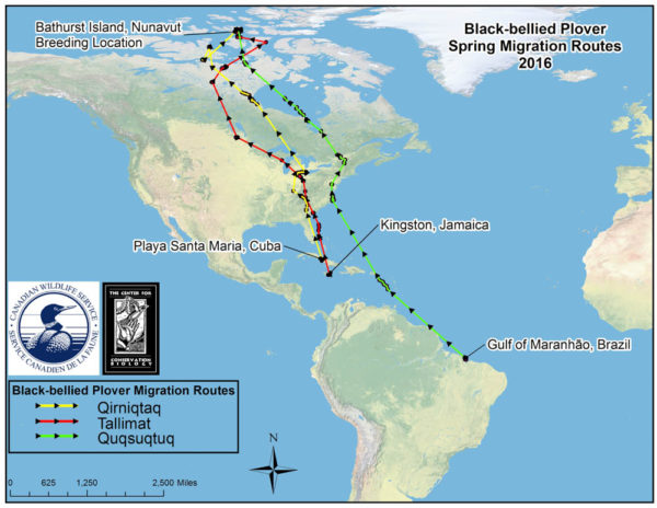 Migration routes of black-bellied plovers from wintering grounds to breeding grounds on Bathurst Island, Nunavut, Canada. Data from The Center for Conserv