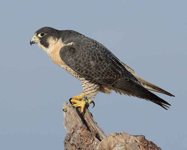 Peregrine falcon resighted on Chincoteague National Wildlife Refuge. This bird was banded as a nestling on Watts Island in 2015. Photo by John NcNamara.