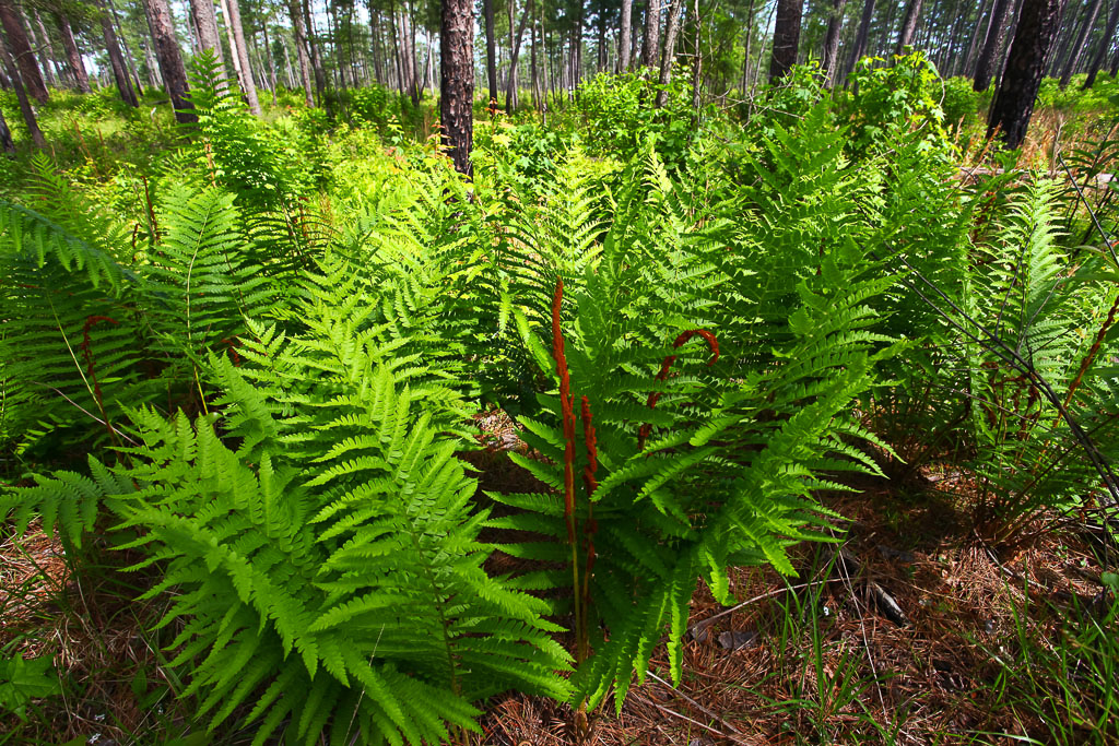 Understory Vegetation on Piney Grove Preserve – Cinnamon fern in the understory within Piney Grove Preserve. This plant is one of many species that thrives in the ground layer as long as the habitat receives frequent fire. Fire is a critical element of the Red-cockaded Woodpecker habitat and is used as a tool on the Piney Grove Preserve.