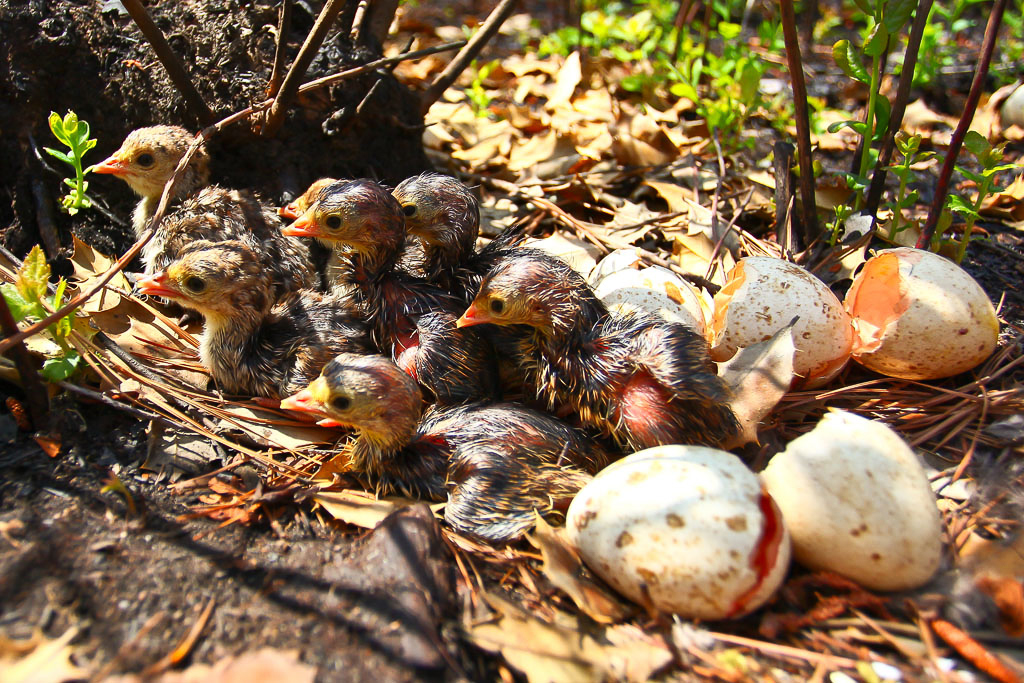 Wild Turkey Brood Hatching on Piney Grove Preserve – A brood of wild turkeys hatching within the Piney Grove Preserve. The use of prescribed burns to manage habitat within the preserve has improved the conditions for several bird species in addition to the Red-cockaded Woodpeckers.