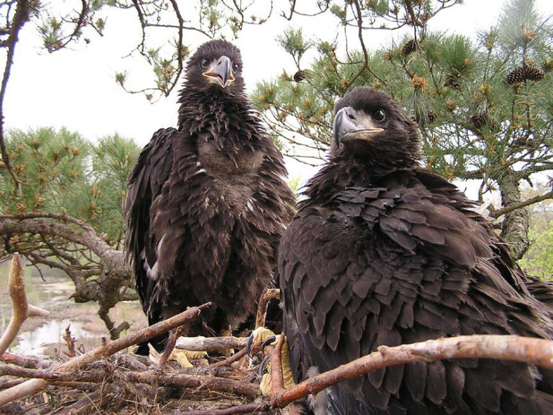 A brood of bald eagles in 2004 on a nest along Chippokes Creek