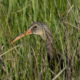 A clapper rail pops his head up within the spartina