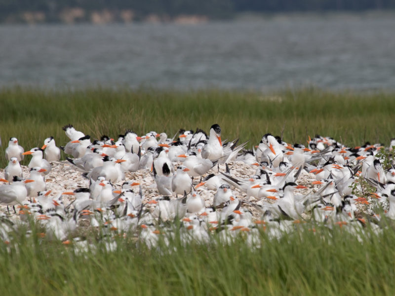 A colony of royal terns in Chincoteague Bay.