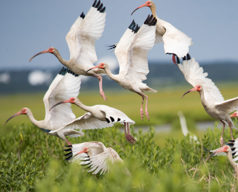 A group of adult white ibis rise from the marsh along the seaside of the Delmarva Peninsula in Virginia.