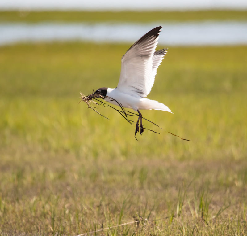 A laughing gull collects nest material to rebuild a nest after being flooded out by high tides.