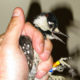 A sleepy, young male woodpecker ready to be placed in an artificial cavity after being translocated