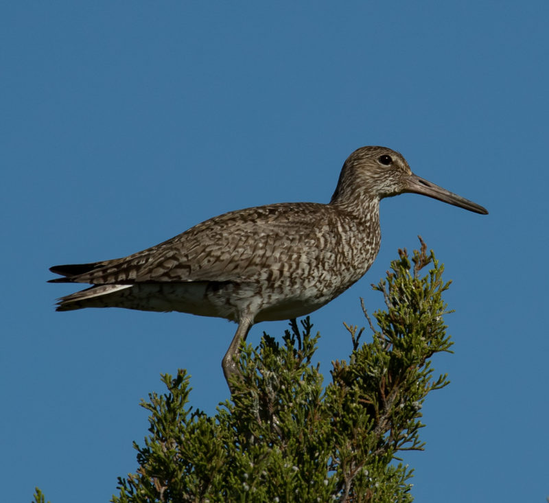 A willet perches on a red cedar tree in the high marsh
