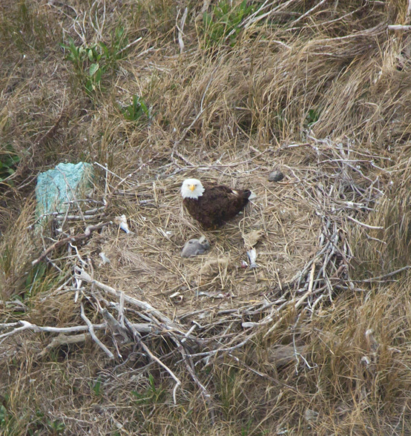 Adult attending young eaglet on a nest in the dune of Little Cobb Island.