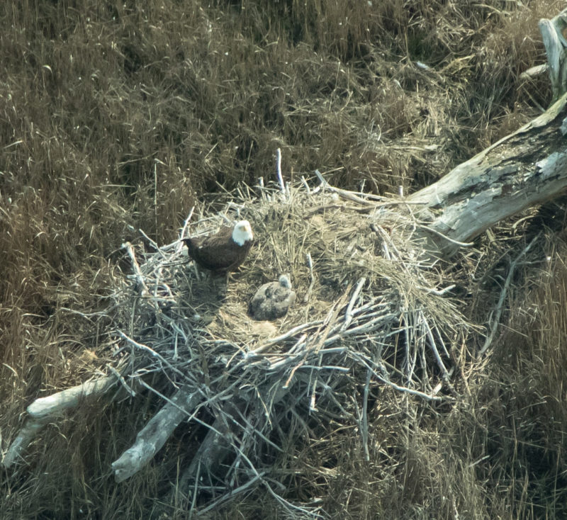 Adult attending young on nest built on a log along the edge of the marsh on the back side of Wreck Island