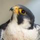 Adult male peregrine falcon from the Mills Godwin Bridge