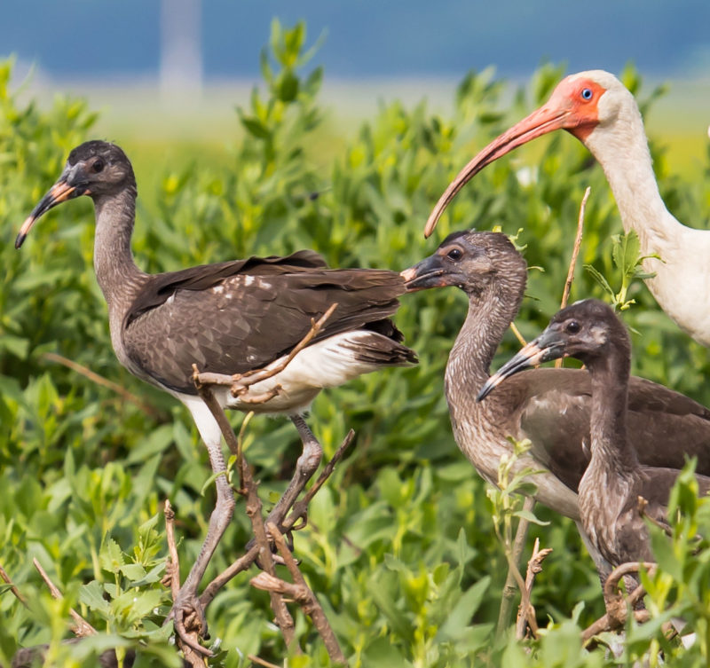 Adult white ibis with a brood in Virginia.