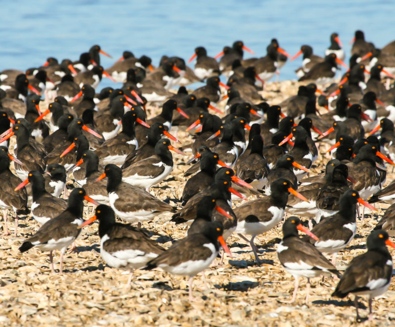 American oystercatchers roost during high tide on a shell rake in Virginia.