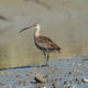An adult whimbrel forages for fiddler crabs along the edge of a tide gut