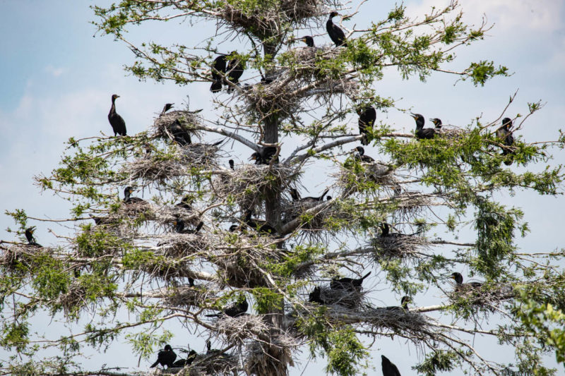 An example of three-dimensional social distancing within a cormorant colony