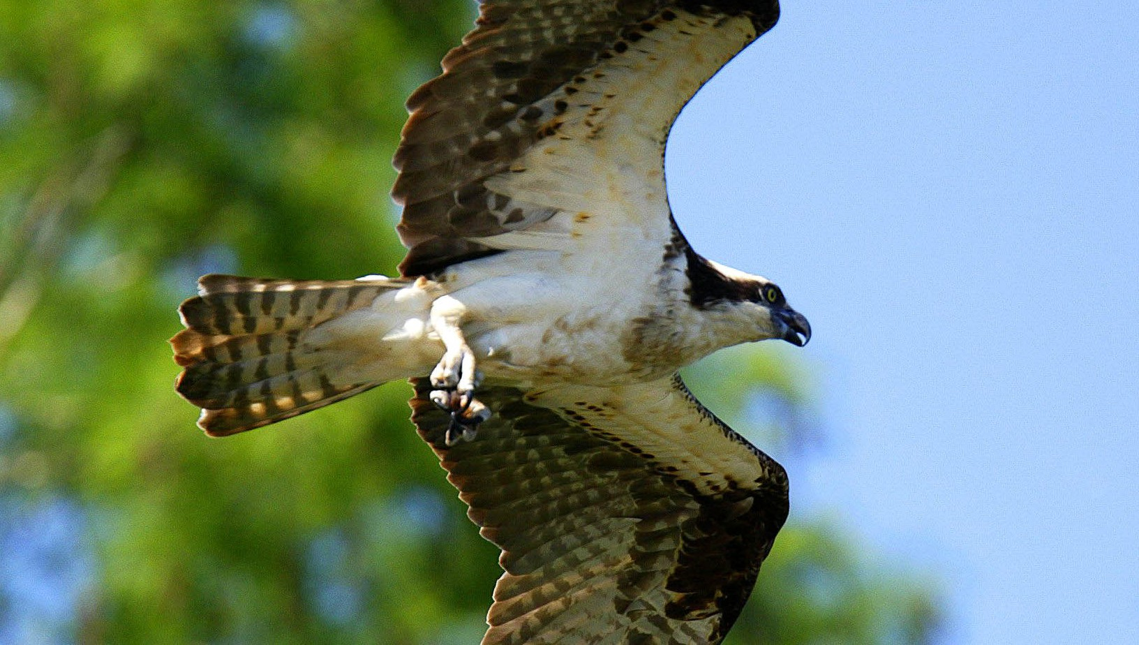 Osprey along James River in the Chesapeake Bay